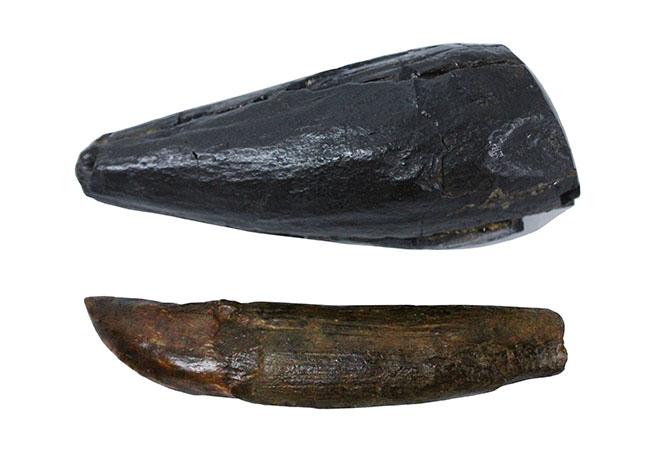 ティラノサウルスの本物の歯化石にタッチできるイベントのレンタル