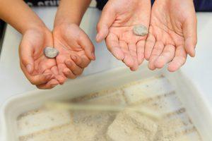 発掘した本物化石アンモナイト