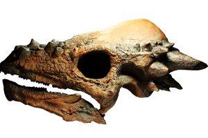 パキケファロサウルス頭部レプリカ