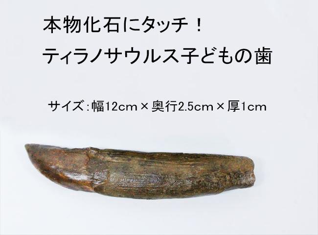 ティラノサウルスの歯化石にタッチ!