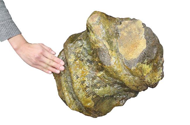 巨大!アパトサウルスの骨化石