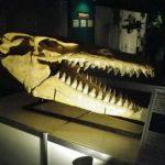 世界的標本、モササウルスの巨大頭骨